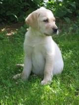 Labrador - wikimedia