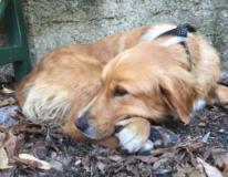 La cagnolina smarrita a Firenze