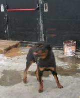 Rottweiler a catena